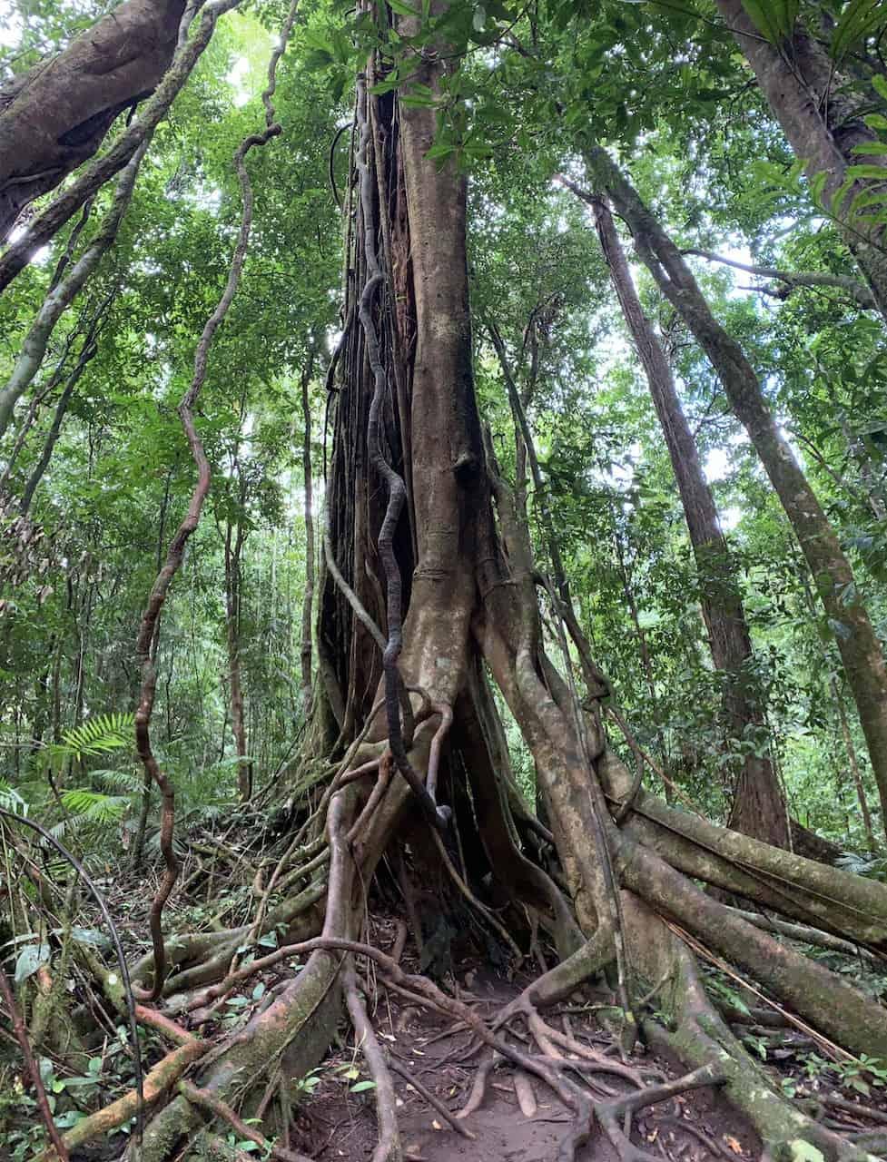 Daintree Trees