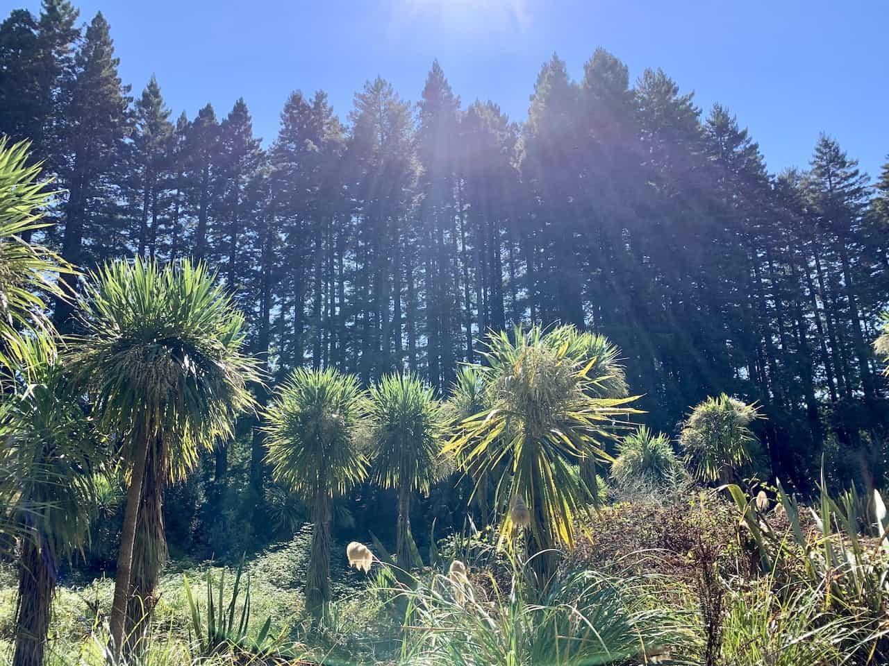 Hamurana Redwoods