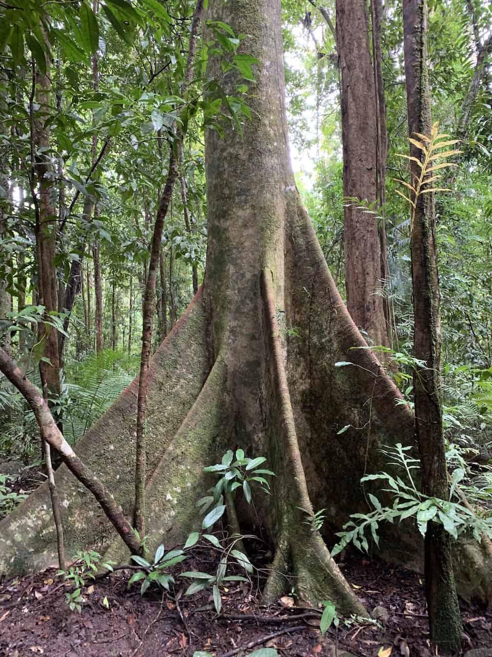 Mossman Daintree Tree