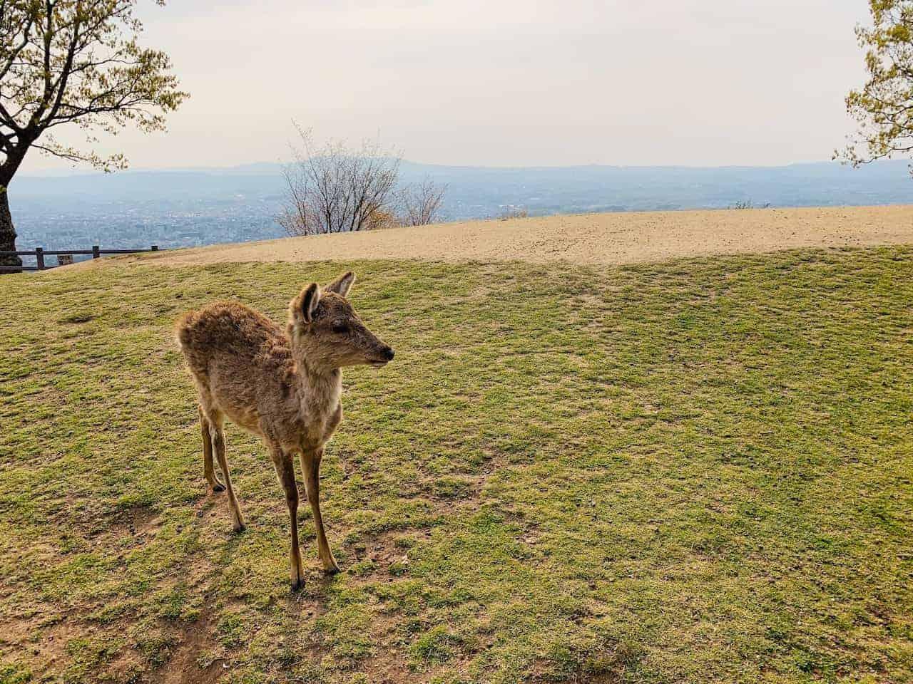 Mount Wakakusayama Deer