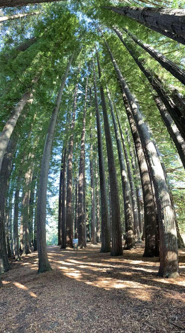 Redwoods Forest Hamurana