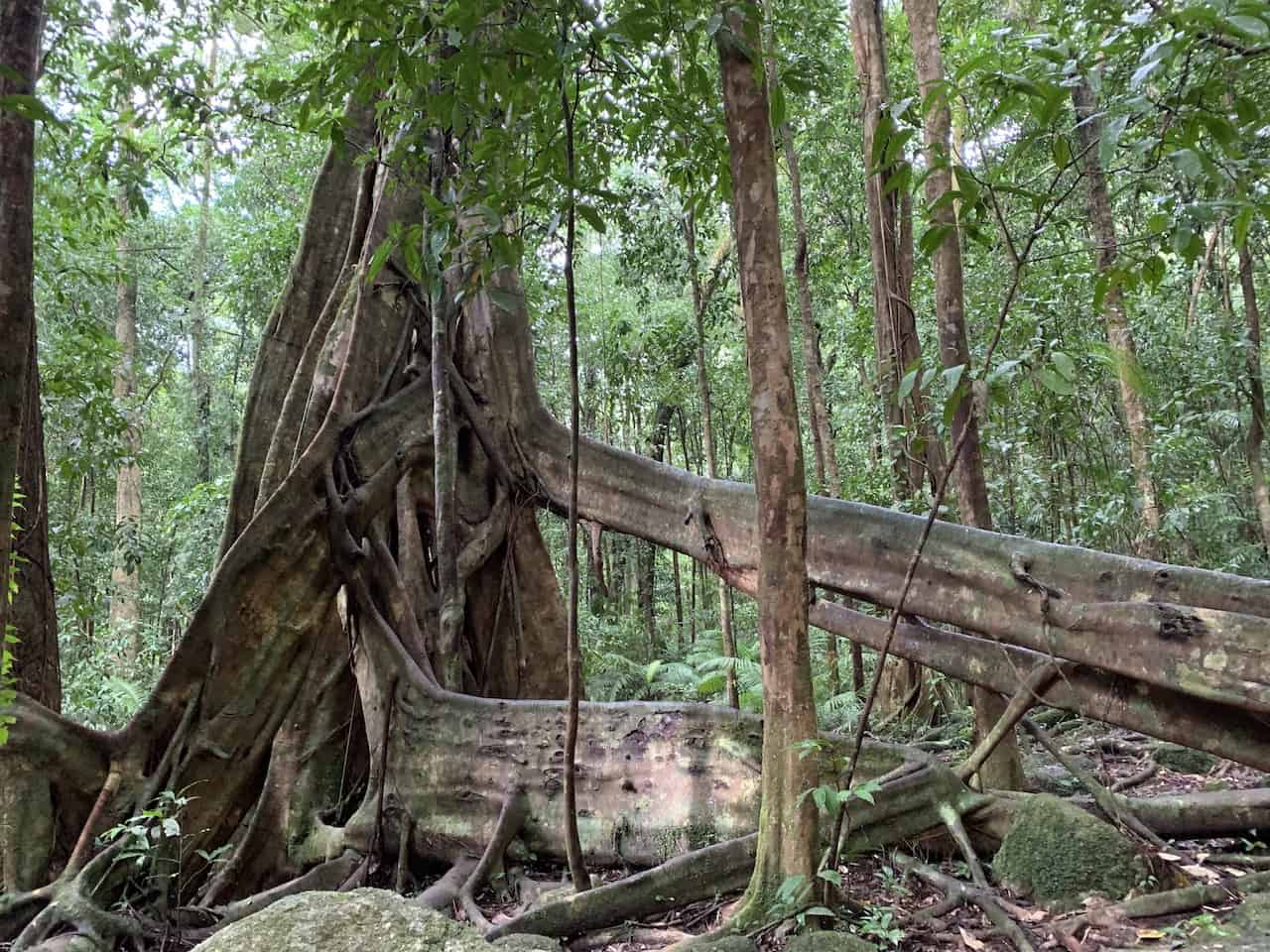 Trees of the Daintree