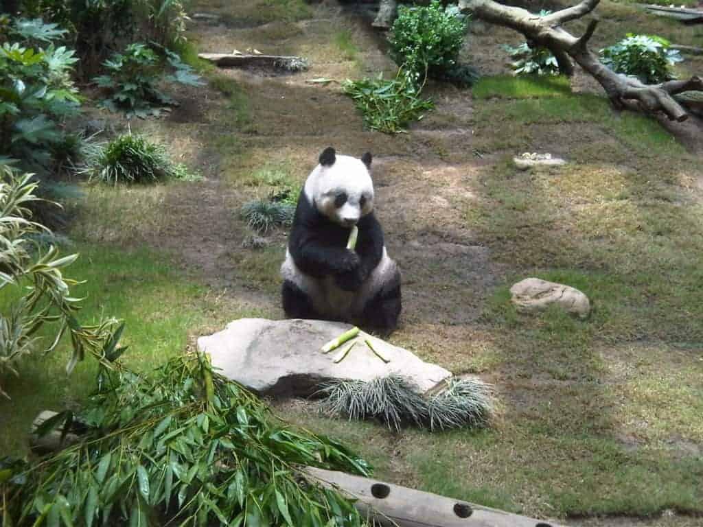 Ocean Park Hong Kong Panda