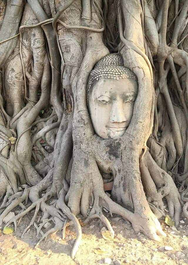 Wat Mahathat Tree