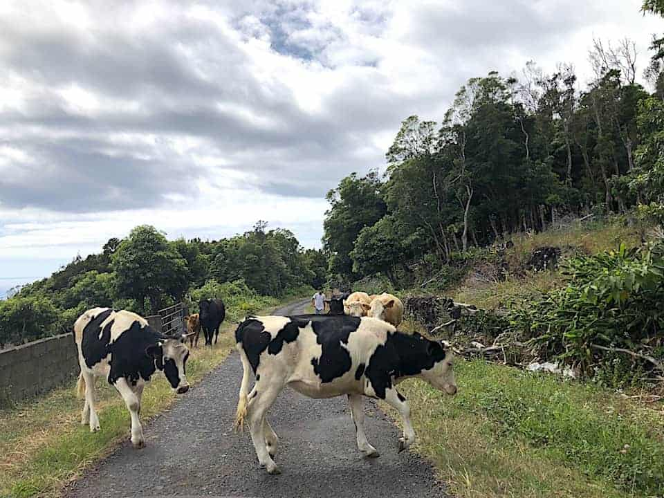 Azores Animals Driving