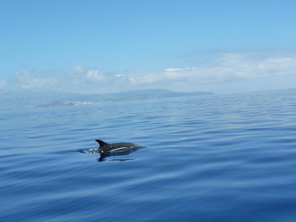Azores Dolphin