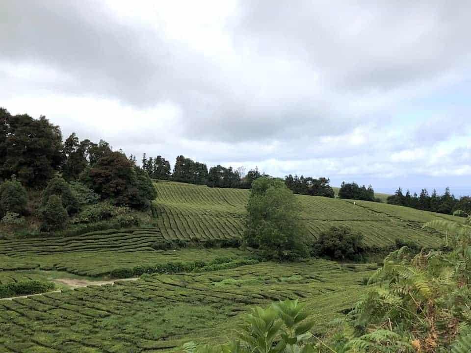 Cha Gorreana Landscape