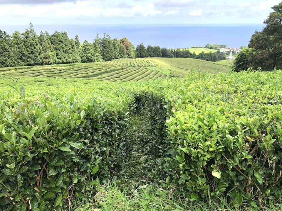 Cha Gorreana Tea Field View