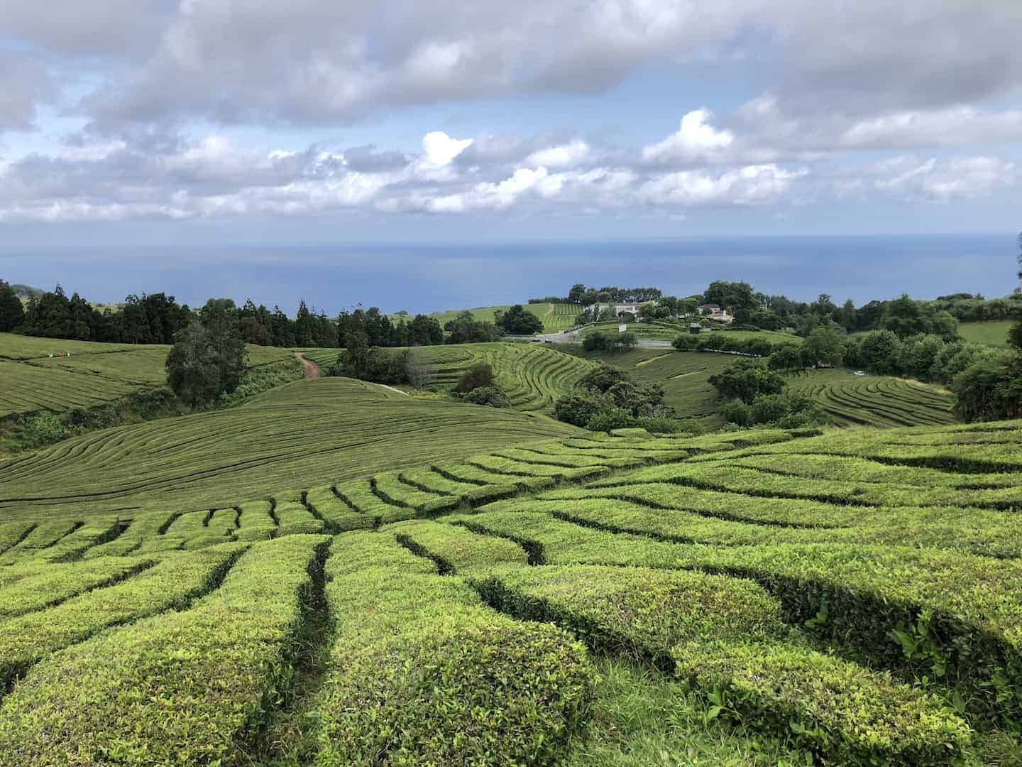 Cha Gorreana Tea Plantation View