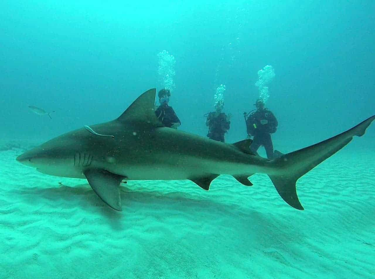 Bull Shark Cancun