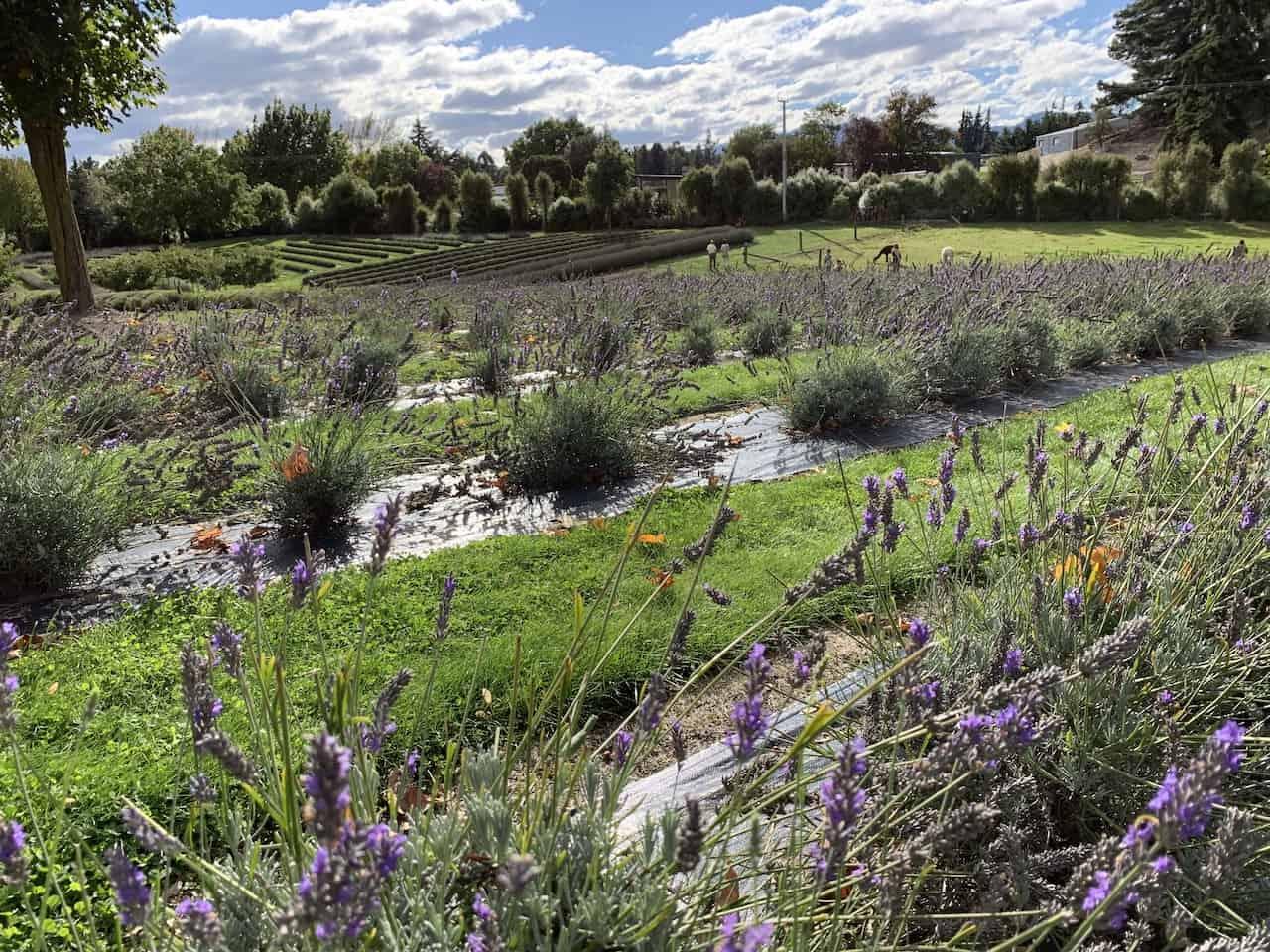 Lavendar Farm Wanaka