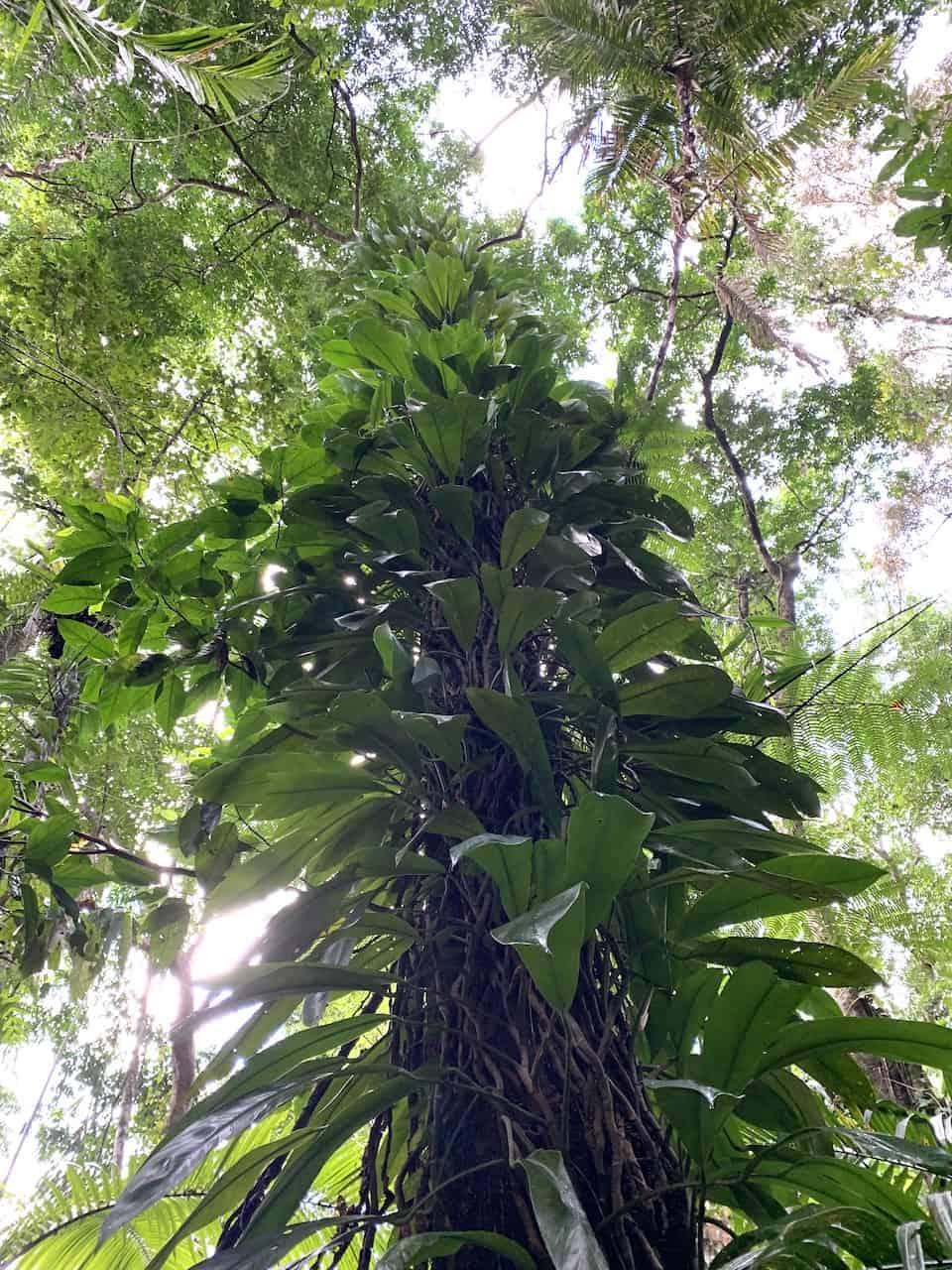 Cassowary Circuit Trees