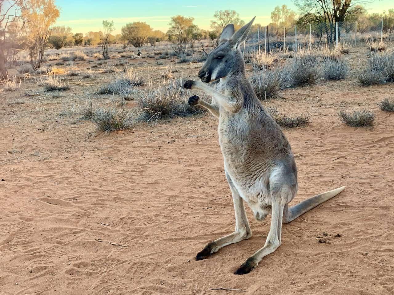 Kangaroo Sanctuary Alice Springs