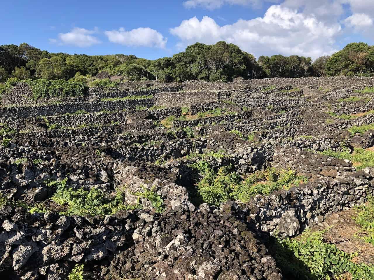 Pico Vineyard Trails