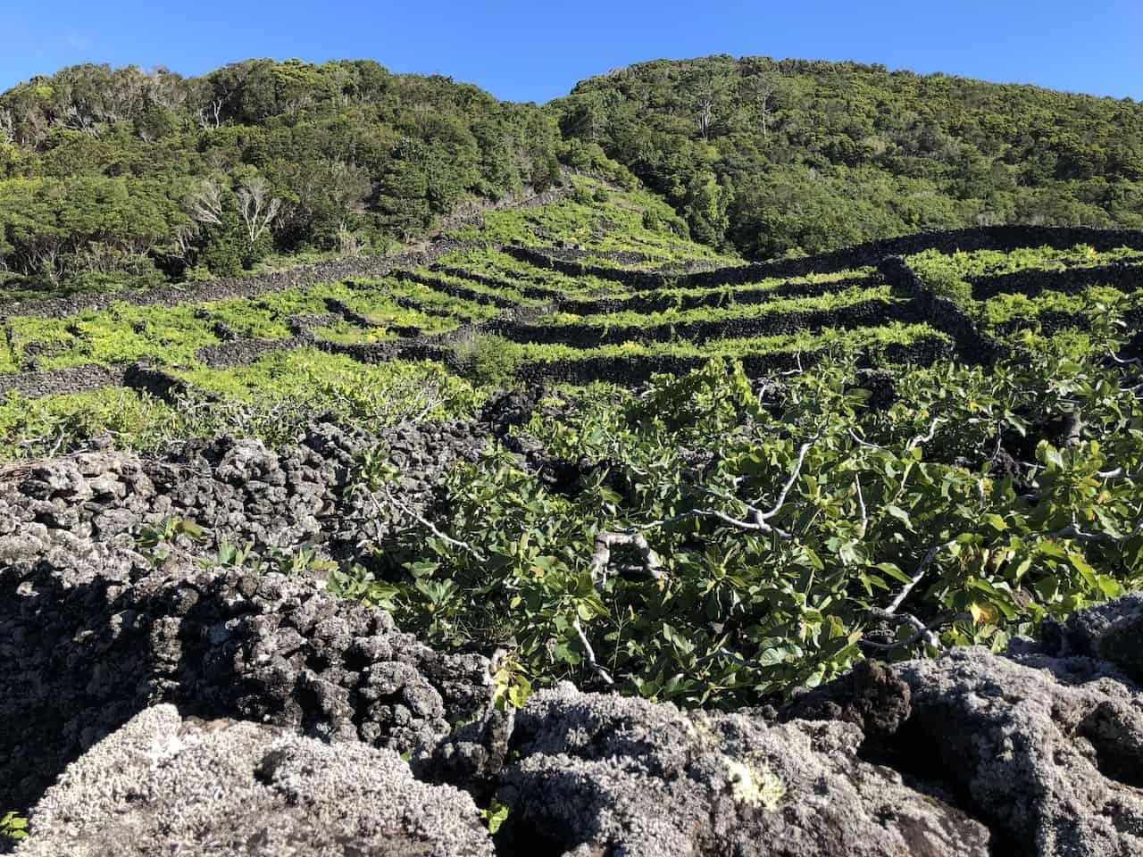 Pico Vineyards