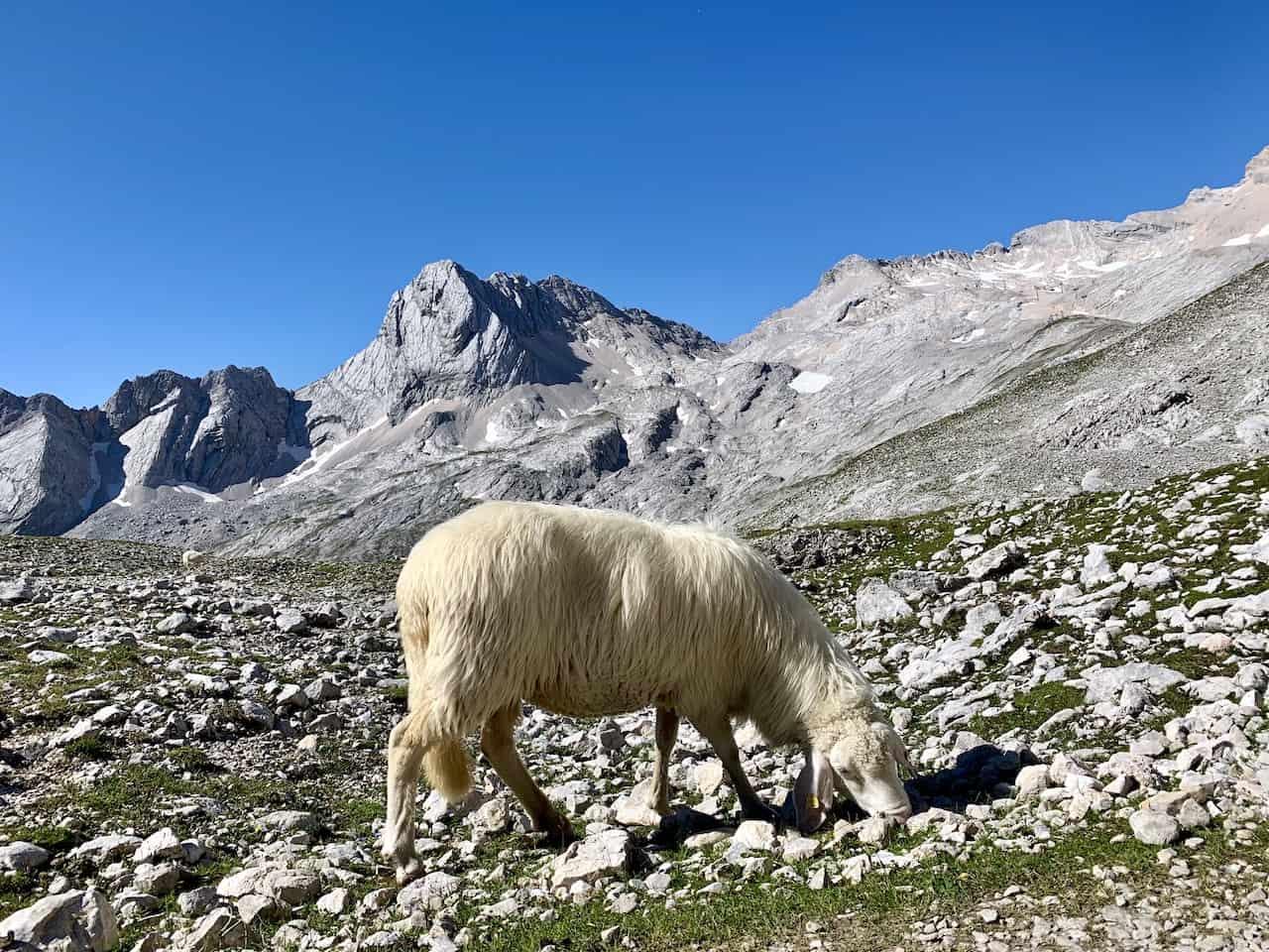 Zugspitze Sheep