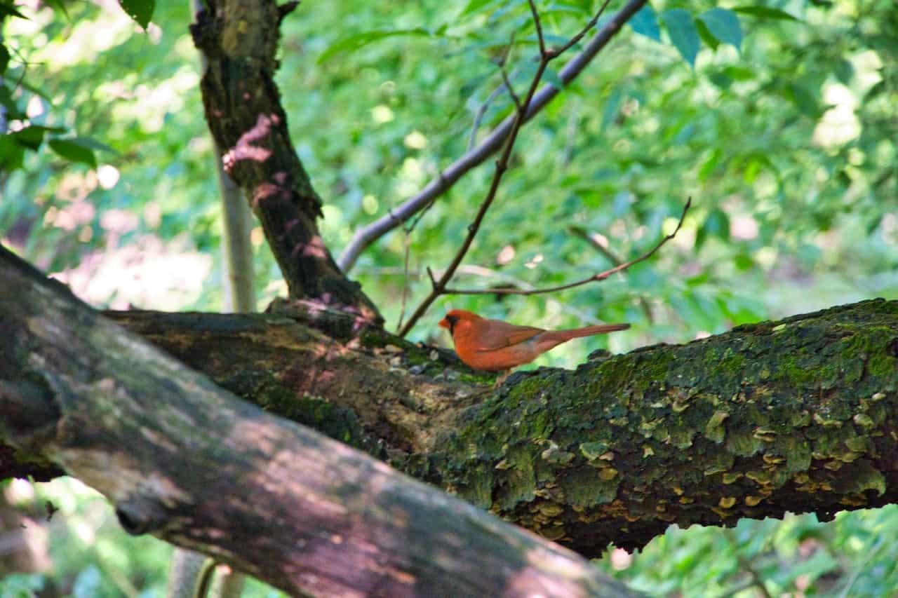 Central Park Robin